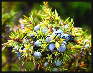 Juniper_berry